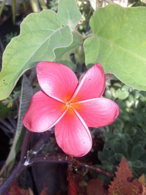 ORANGE, PINK & WHITE PLUMERIA for Sale in Bell Gardens, CA