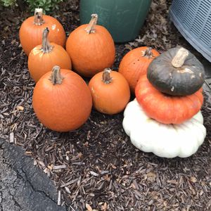 Bunch Of Pumpkins FREE for Sale in Harrisburg, PA