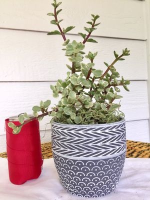 Real Indoor Houseplant - Variegated Elephant Bush/ Baby Jade Succulent Plants in Ceramic Planter Pot for Sale in Auburn, WA