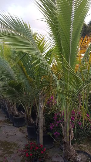 Coconut palms for Sale in West Palm Beach, FL
