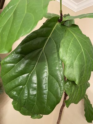 Real fig fiddle tree for Sale in West Bloomfield Township, MI