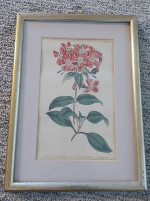 Antique Curtis Botanical Print #528 for Sale in Norwich, CT