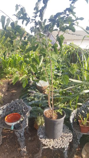 MULBERRY TREE READY TO PLANT IN UR YARD for Sale in San Diego, CA