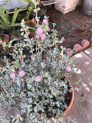 Big nice flowering plant in 3 gallon Pot for Sale in Chula Vista, CA