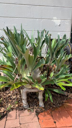 Staghorn Plant for Sale in Tampa, FL