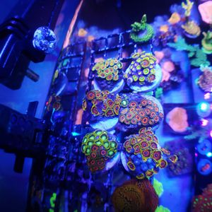 Zoa colony frags for Sale in Orlando, FL