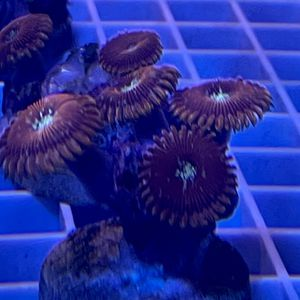 Magician Zoanthids Coral Frag for Sale in San Dimas, CA