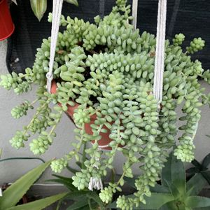 Succulent Grande Con Colgadera for Sale in Downey, CA