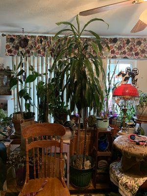 Dracaena 7 plus feet Tall !! for Sale in Portland, OR