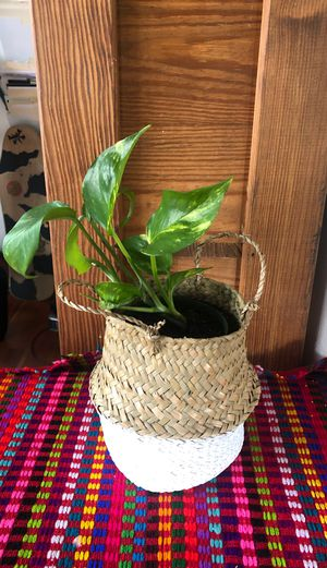 Pothos Plant 🌱 and Basket 🧺 for Sale in San Clemente, CA
