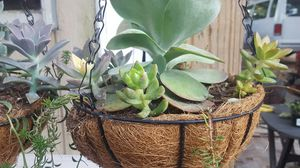 Succulents for Sale in Houston, TX