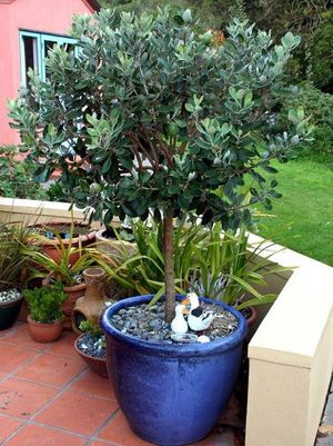 Pineapple guava fruit tree for Sale in Huntington Beach, CA