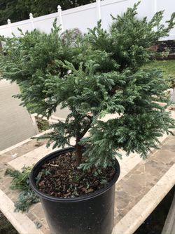 Trees evergreen perennials for Sale in Moorestown,  NJ