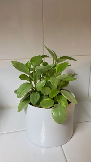 Variegated Peperomia Pixie for Sale in Clovis, CA