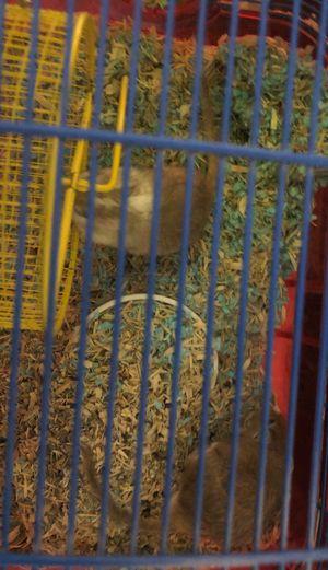 2 Male Gerbils free for Sale in Hialeah, FL