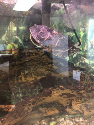 Turtle with 50 gallon tanks and setup for Sale in Pennsdale, PA