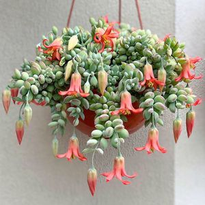 Cliff cotyledon for Sale in South Gate, CA