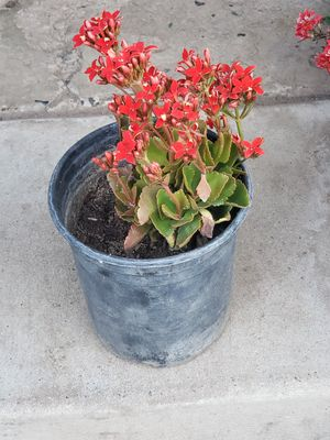 Red Khalanchoe for Sale in Fresno, CA