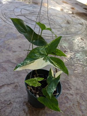 "Rare Variegated Syngonium 4 plants in a 6"" pot for Sale in Riverside, CA"