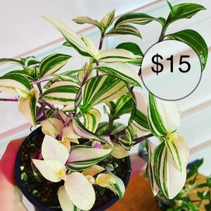 Tradescantia Pink Princess for Sale in Vancouver, WA