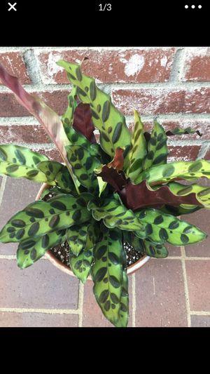 Beautiful Calathea lancifolia (Rattle Snake) plant for Sale in Corona, CA