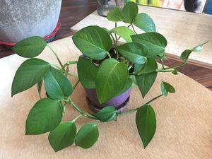 Nice Plant in Ceramic Pot for Sale in San Diego, CA