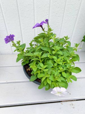 Petunia Flower Pot for Sale in Vancouver, WA