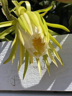 RED DRAGON FRUIT PLANT CUTTINGS for Sale in San Diego, CA