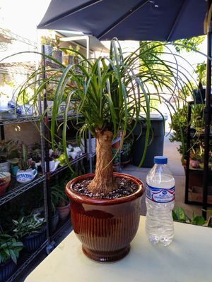 PONYTAIL BONSAI PALM for Sale in Paramount, CA