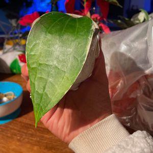 Hoya macro for Sale in San Clemente, CA