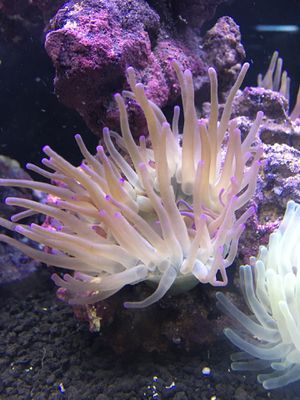 Anemones For clownfish for Sale in Baldwin Park, CA