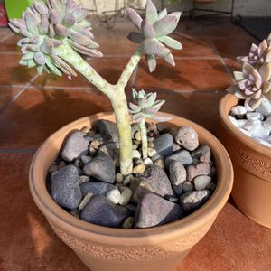 Ghost Plant Crest in 10 inch terra-cotta pot for Sale in Lynwood, CA