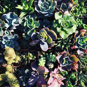 Succulents for Sale in Westley, CA