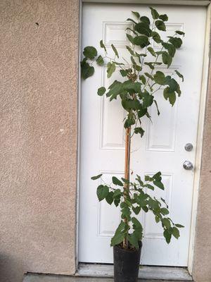Mulberry tree. Arbolito de mora for Sale in Riverside, CA