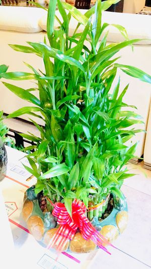 5 layer lucky bamboo Real Live Indoor Houseplant Plant for Sale in Garden Grove, CA