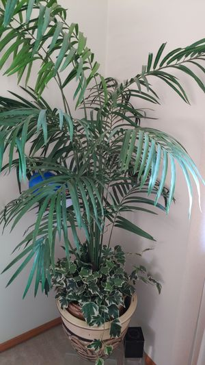 House plant for Sale in Strongsville, OH