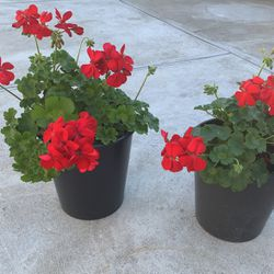 Geraniums for Sale in Hayward,  CA