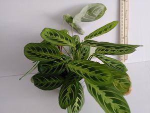Maranta prayer plant for Sale in NEW PRT RCHY, FL
