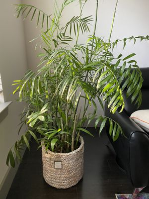Bamboo plant for Sale in Raleigh, NC