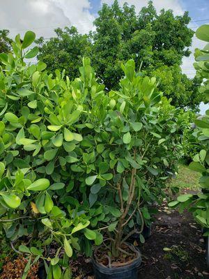 Clusias 3feet 6feet to 8 feet tall. for Sale in Miami, FL