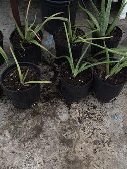 Aloe Plants for Sale in Kissimmee,  FL