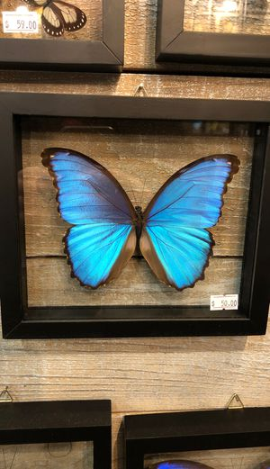 Real Glass framed Butterfly for Sale in Owatonna, MN