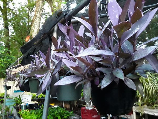 Live Purple Heart Plant in Hanging Pot