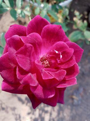 Iceberg Rose Burgundy Color - 4 gallon plants for Sale in Wildomar, CA