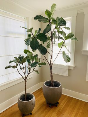 Two Fiddle Leaf Fig Trees. 8ft and 4ft. for Sale in Seattle, WA
