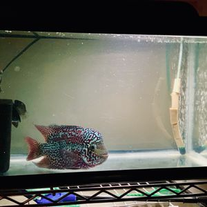 Flowerhorn tank and whole setup for sale for Sale in Seattle, WA