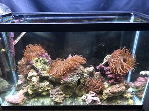 Complete Anemone tank setup for Sale in Cypress, TX