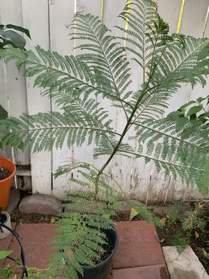 Plant Jacaranda 5 Gallons for Sale in March Air Reserve Base, CA
