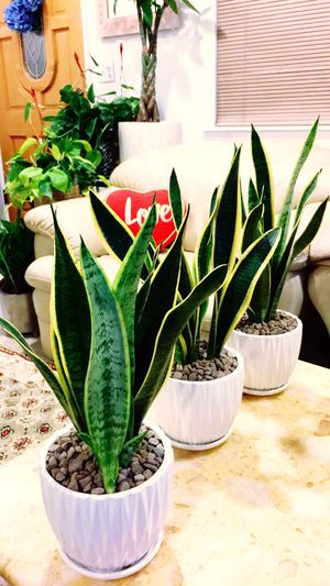 Snake Plant - Indoor Plant - The Snake Plants Give Out The Good Air And Take Away The Bad Air - $15 Each for Sale in Garden Grove, CA