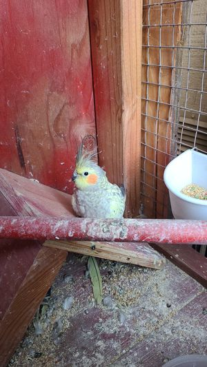 Cacatua for Sale in Redwood City, CA